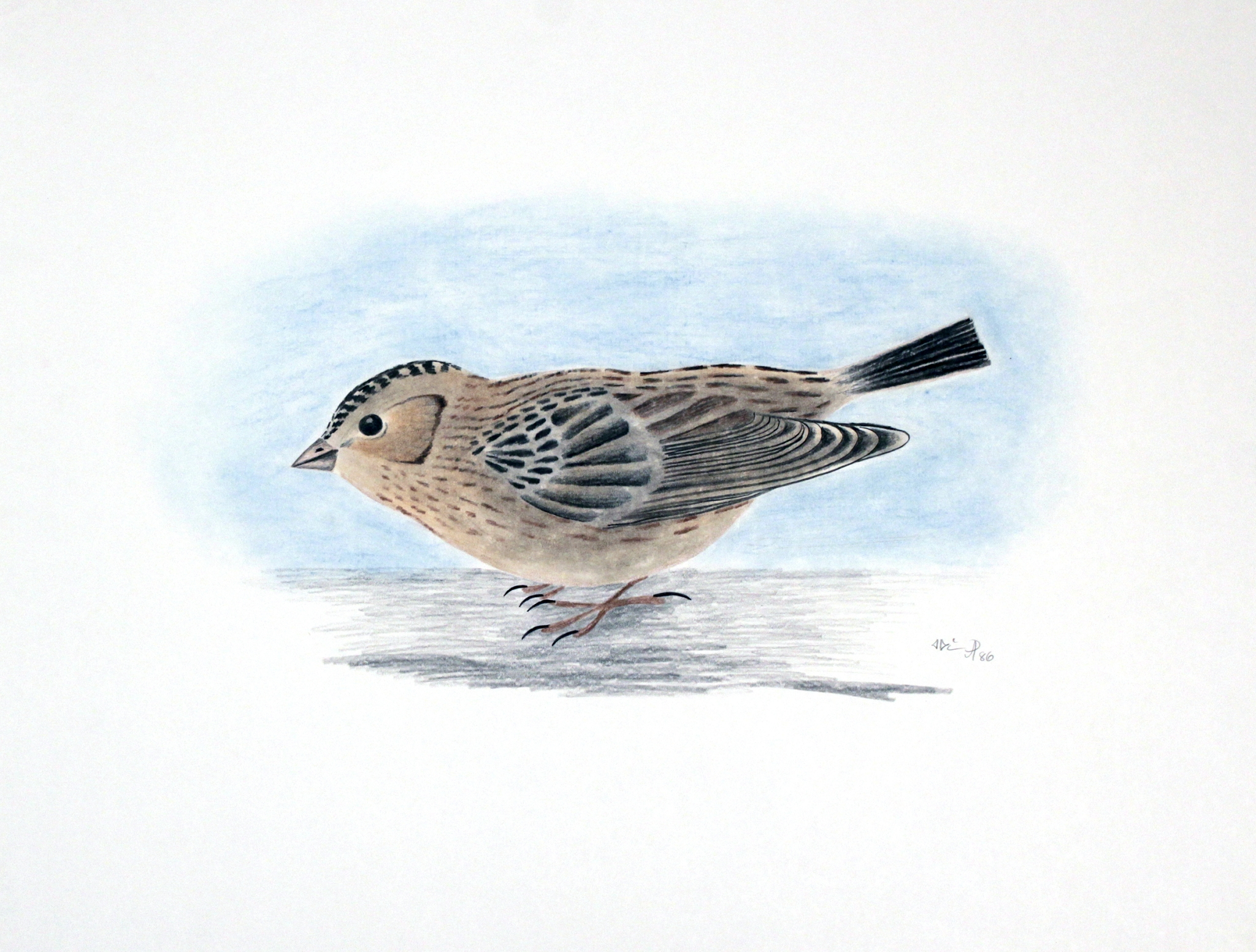 YOUNG SNOW BUNTING