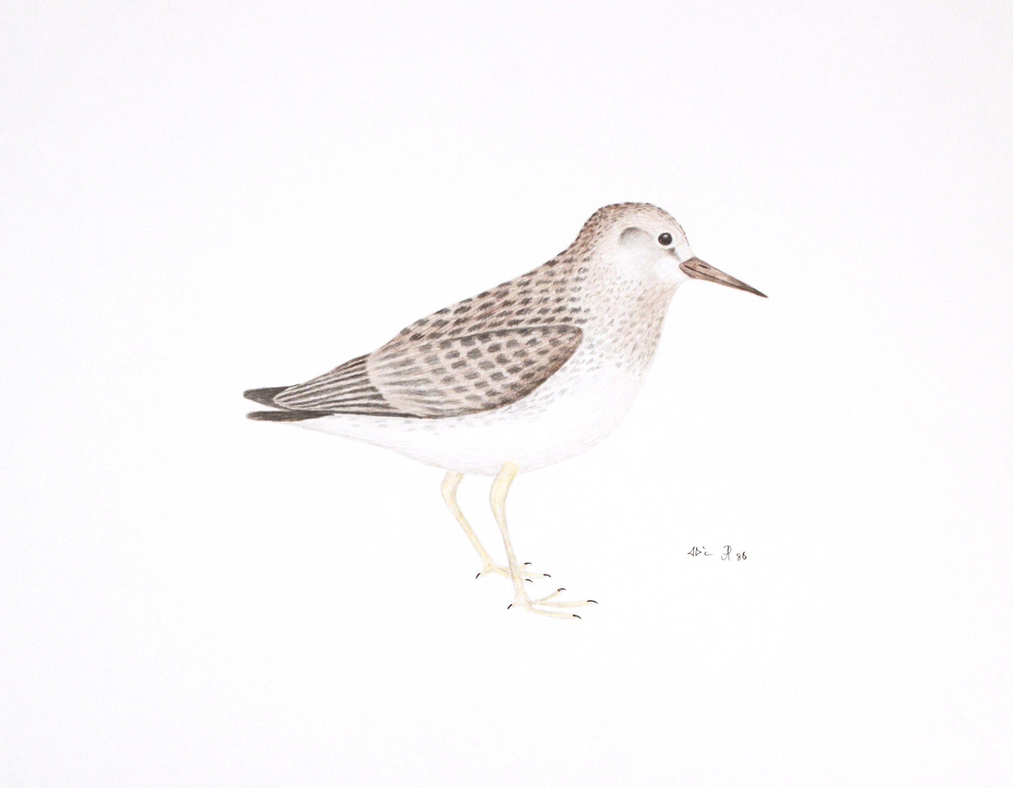BAIRDS SAND PIPER